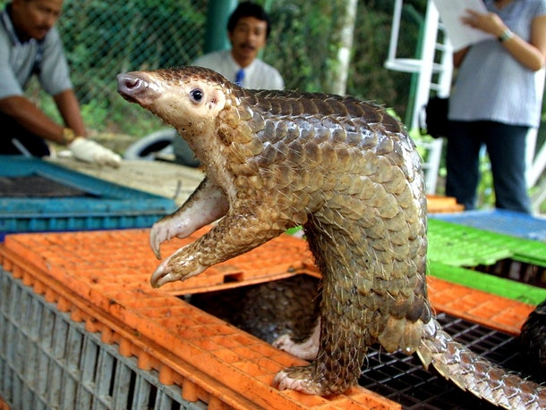 KUALA LUMPUR, MALAYSIA:  A Malayan pangolin is seen out of its cage after being confiscated by the Department of Wildlife and Natural Parks in Kuala Lumpur, 08 August 2002.  Malaysian wildlife authorities said they seized 46 pangolins and arrested two men believed to be part of an international smuggling ring trafficking endangered animals to restaurants in China. The pangolins are a fully protected species and could fetch a price of 70 ringgit (18.5 USD) per kilo in the illegal market, with each animal weighing more than 12 kilos (26 lbs).    AFP PHOTO/Jimin LAI (Photo credit should read JIMIN LAI/AFP/Getty Images)