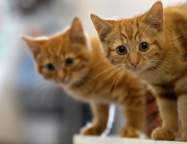 MANCHESTER, ENGLAND - JULY 27:  Milly, a 13-week-old kitten waits with her brother Charlie (L) to be re-homed at The Society for Abandoned Animals Sanctuary in Sale, Manchester which is facing an urgent cash crisis and possible closure on July 27, 2010 in Manchester, England. The Society for Abandoned Animals exists entirely on public support and unless it can raise GBP 50,000 in the next couple of months it will have to close down. The registered charity started in 1967 and in the last five years alone the charity has rescued and found homes for more than 1,000 cats, 290 rabbits and 262 dogs. The rescue centre is one of the many who are suffering a downfall in donations due to the economic recession.  (Photo by Christopher Furlong/Getty Images)