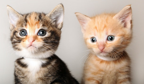 LONDON, ENGLAND - AUGUST 18:  Two stray kittens pose for a photograph at Battersea Dogs and Cats Home on August 18, 2009 in London, England. Battersea Dogs and Cats Home is seeing a sharp rise in the number of cats requiring a home with 143 of the 145 shelter's pens full.  (Photo by Dan Kitwood/Getty Images)