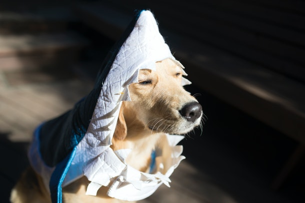 Dog dressed up in a shark costume.
