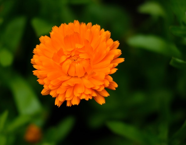 Marigold is the birth flower for October, and Marigold is a great October cat name