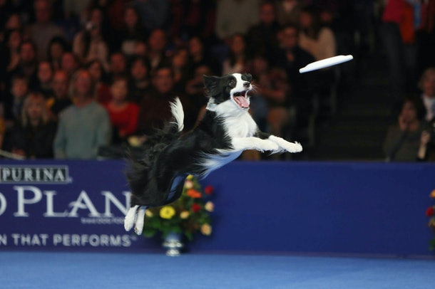 Photos from previous years' National Dog Shows also show some competitors demonstrating their talents in speed and ability.