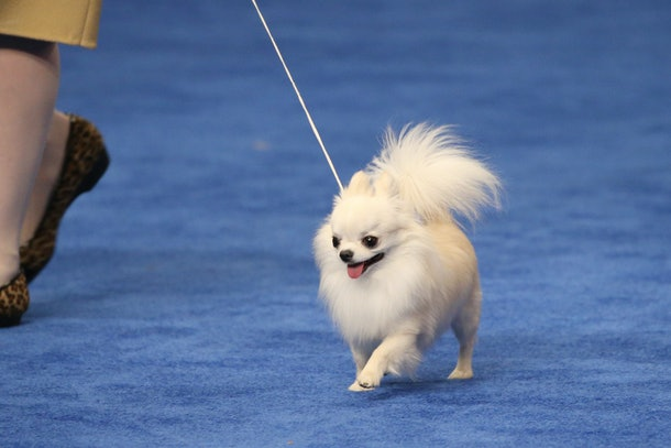 Photos from previous years' National Dog Shows are full of adorable pups, including this tiny tot.