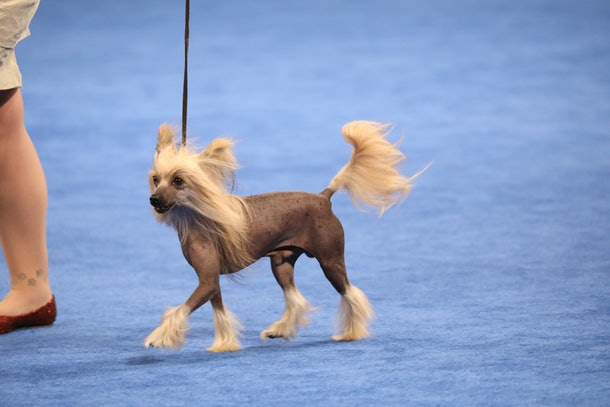 Not every competitor comes with a long mane of luscious locks, as photos from previous years' National Dog Show will show.
