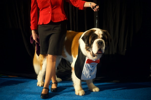Photos from previous years' National Dog Shows include this well-dressed pup.