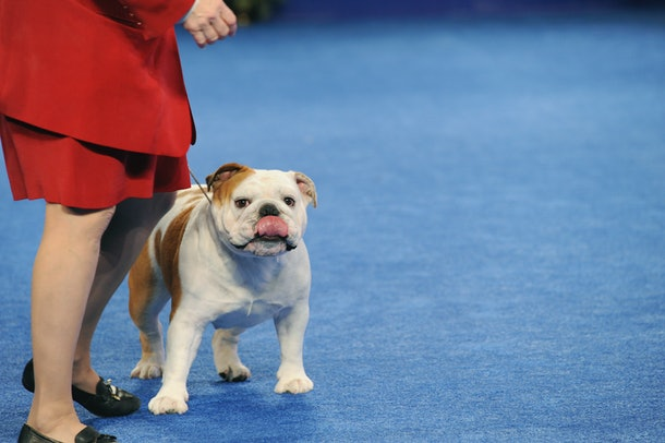 Dogs like this cute bulldog are exactly why photos from previous years' National Dog Shows shows are so fun to browse.