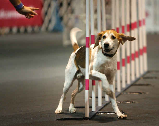 The AKC National Championship Dog Show is one of the biggest dog shows in the world, and will be broadcast on Animal Planet on New Year's Day.
