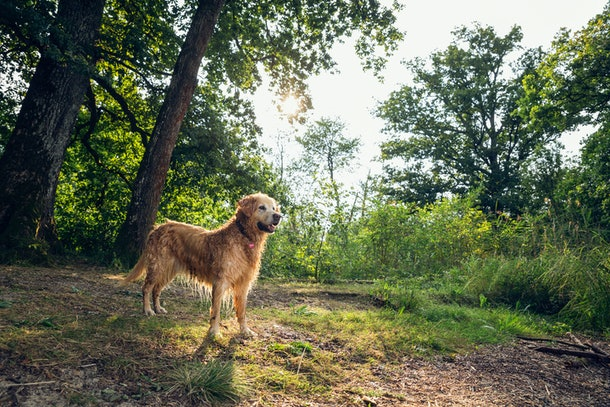 Sweet and affectionate, golden retrievers can make great family dogs.