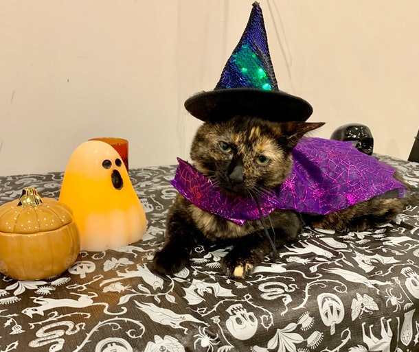 The author's cat dressed up in a witch costume.