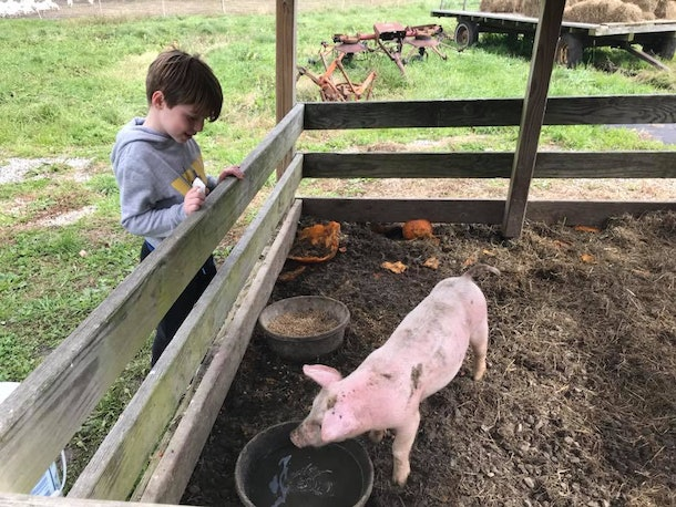Pigs: very cute and very smelly.