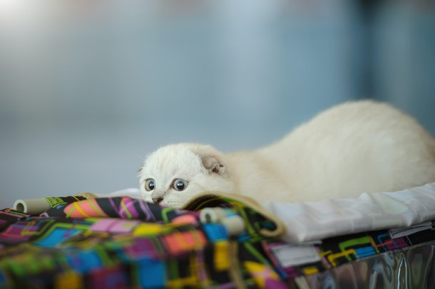 white cat with ears down peaking over a colorful table