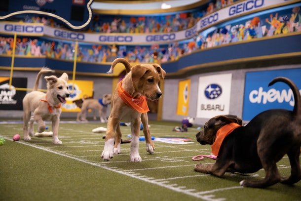 Puppies compete in games at the 2020 Puppy Bowl