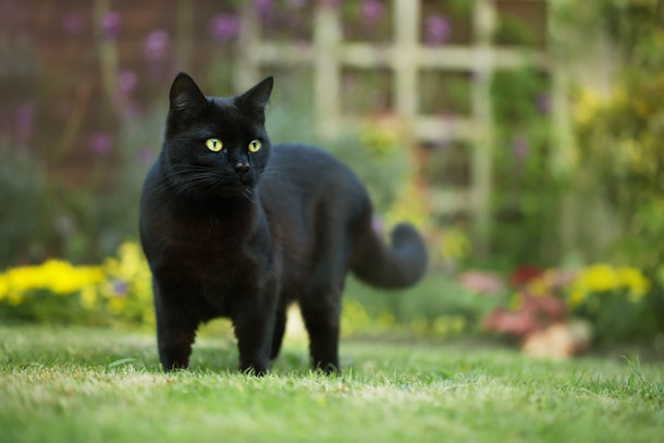 Close up of a black cat on the grass in the back yard, UK