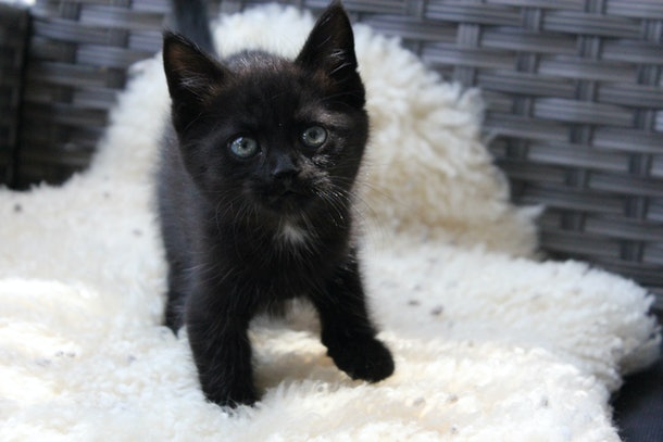 Black kitten sitting on sheepskin
