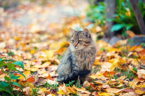 Cat sitting outdoor on the leaves in autumn