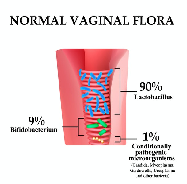 Normal microflora of the vagina. Normocenosis of the vagina. The ratio of lactobacilli, bifidobacteria and conditionally pathogenic bacteria. Infographics. Vector illustration on isolated background.