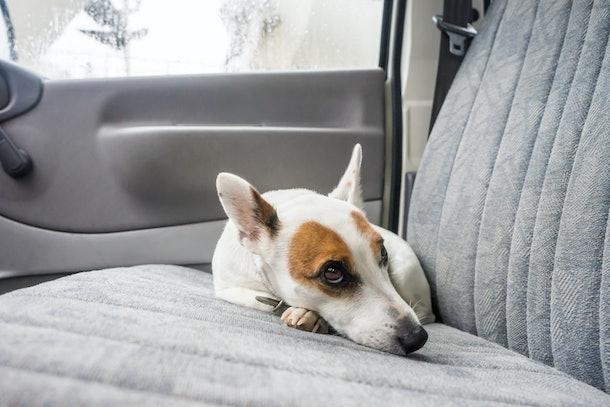 Scarred dog at backseat