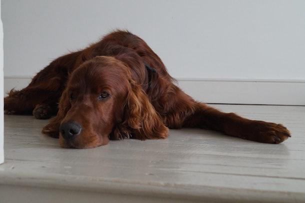 Irish setter lying on wooden floor