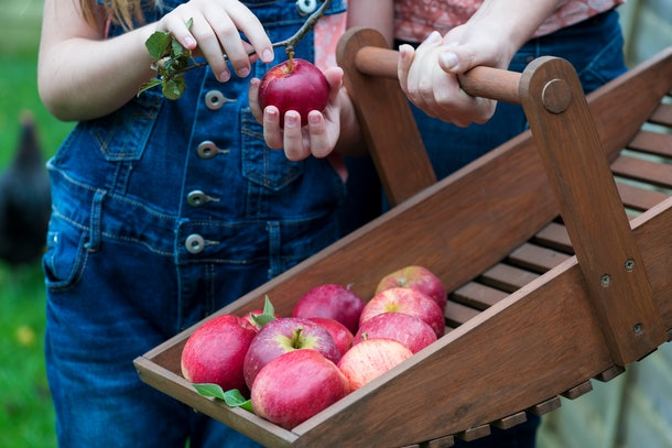 family members collecting apples from an organic fruit tree on a small holding , selective focus and bokeh background to ad copy space