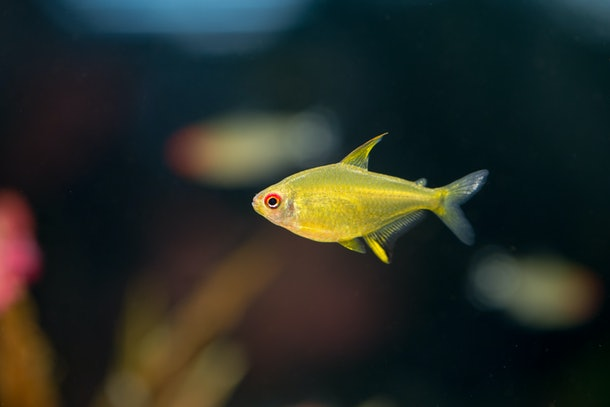 Lemon tetra yellow aquarium fish (Hyphessobrycon pulchripinnis) with a black background