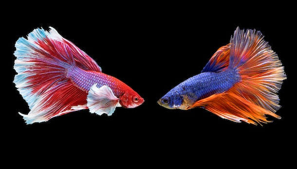 Two betta fish are fighting, Siamese fighting fish on black background