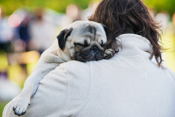 Pugs are the perfect little lap dogs.