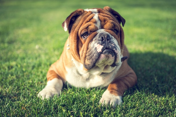 Bulldogs are great lap dogs, and it might be because of their own biology.