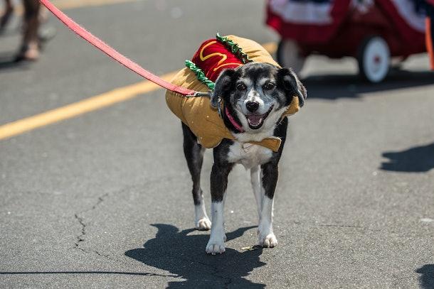Mixed breed dog wearing costume of hot dog for celebration parade on city street.