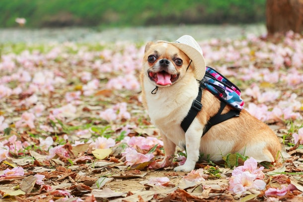 Small female dog, Chihuahua wearing hat with travel backpack in flower garden.